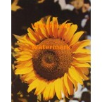 Sunflower  - #XD9317  -  PHOTO PRINT