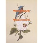 Bluebird on Crimson Marsh Mallow  - XKN8084  -  PRINT
