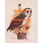 Barn Owl  - XKN8132  -  PRINT