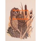Short-Eared Owl  - XKN8135  -  PRINT