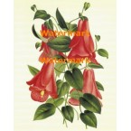 Lampageria Rosea  - XM3017  -  PRINT