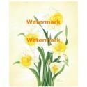 White & Yellow Daffodils  - #XM4203  -  PRINT