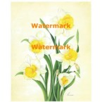 White & Yellow Daffodils  - #XM4203  -  PRINT