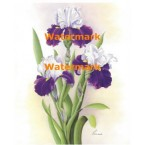 Purple and Lavendar Irises  - #XM4207  -  PRINT