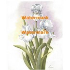 White Irises  - #XM423  -  PRINT