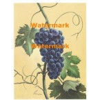 Blue Grapes  - #XM471 -  PRINT