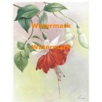 Red/White Fuchsia - #XM475  -  PRINT