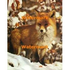 Fox In Snow  - #XS7965  -  PRINT