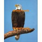 Eagle  - #XS7132  -  PRINT