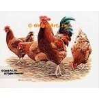 Rooster & Hens  - #BOR5  -  PRINT