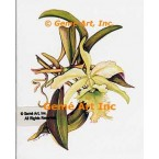 Cattleya Orchid  - WOR116  -  PRINT
