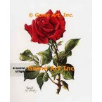 Red American Beauty Rose  - IOR80  -  PRINT