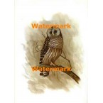 Owl On Branch  - XBAN634  -  PRINT