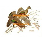 Green-Wing Teal  - #XBBI-51  -  PRINT
