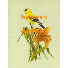 Goldfinch on Day Lily  - XKF8085  -  PRINT