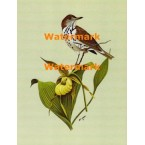 Wood Thrush on Lady Slipper  - XKF8086  -  PRINT