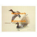 Canvasback Ducks  - XS764  -  PRINT
