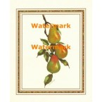 Pears on a Branch  - #XBFR232  -  PRINT