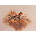 German Shorthaired Pointer  - XD10100  -  PRINT