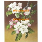 Apple Blossoms  - #XM3008  -  PRINT