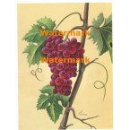 Red Grapes  - #XM472 -  PRINT