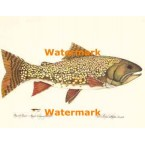 Brook Trout  - #XS16833  -  PRINT